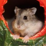 Chaleuria welcomes fluffy hamster Reborn Into a Hamster for 233 Days!